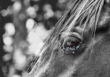 Mosche su un occhio del cavallo Fotografia Stock