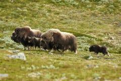 Moschus-Ochse in Dovrefjell Norwegen Lizenzfreie Stockfotos