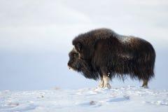 Moschus-Ochse im Winter Stockfotos