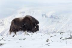 Moschus-Ochse im Winter Stockbilder