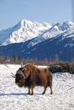 Moschus-Ochsen-Vertikale mit Snowy-Bergen Lizenzfreie Stockfotografie