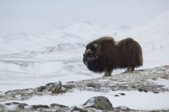 Moschus-Rind im Winter Stockfoto