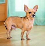Moscou Toy Terrier Photo stock