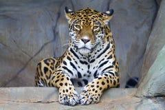 moscow för den centrala jaguar för klättringen för Amerika buskar upptar live droughty northem ofta onca över panthera, fotografe Arkivbild
