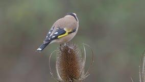 moscow för livsmiljö för fågelcarduelissteglits russia för fotografi för naturlig park timirjazevsky wild djurliv stock video