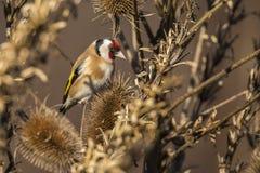 moscow för livsmiljö för fågelcarduelissteglits russia för fotografi för naturlig park timirjazevsky wild djurliv En sångfågel royaltyfri foto