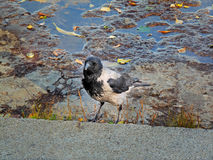 Moscow Hoodiecrow. A Hooded Crow on a bumpy, wet, concrete road Royalty Free Stock Image