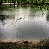 Moscow lake geese Stock Image