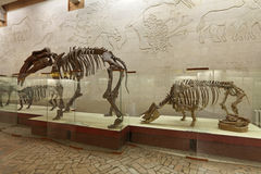 Moscow Paleontological Museum Royalty Free Stock Photo