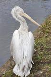 moscow pelikanzoo Royaltyfri Foto