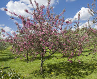 Moscow, pink cherries in Kolomenskoye park Stock Image