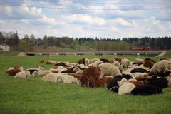 Sheep peacefully graze on pasture near the highway royalty free stock photos