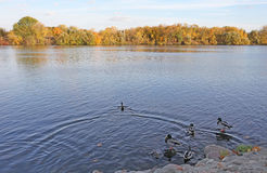Moscow river and ducks. Autumn Royalty Free Stock Photos