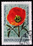 Roemeria refracta flower, circa 1974 Royalty Free Stock Image