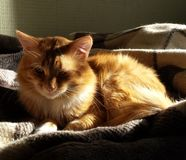 A red fluffy cat boy sleeping on the bed in sun rays stock images