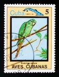 Cuban Parakeet Aratinga euops, Endemic birds, circa 1983. MOSCOW, RUSSIA - AUGUST 29, 2017: A stamp printed in Cuba shows Cuban Parakeet Aratinga euops, Endemic stock photo