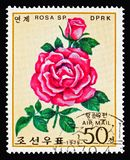 Deep pink rose different air, Roses serie, circa 1979. MOSCOW, RUSSIA - AUGUST 18, 2018: A stamp printed in Korea shows Deep pink rose different air, Roses serie stock photography