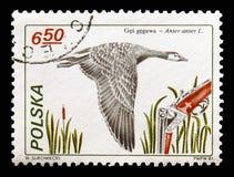 Greylag Goose (Anser anser), Hunting serie, circa 1981 stock photography