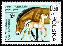 Przewalski's Horse (Equus przewalskii), Warsaw Zoological Gardens serie, circa 1978. MOSCOW, RUSSIA - FEBRUARY 10, 2019: A stamp printed in Poland shows stock photos