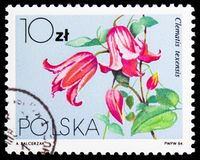 Clematis texensis, Flowers Local - Clematis serie, circa 1984. MOSCOW, RUSSIA - JANUARY 4, 2019: A stamp printed in Poland shows Clematis texensis, Flowers Local royalty free stock photography