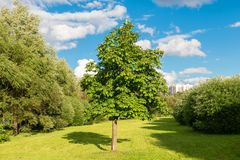 A young chestnut in a walking area. MOSCOW, RUSSIA - 23 JULY, 2017: A young chestnut in a walking area on a warm summer evening in a recreation area in Altufevo Royalty Free Stock Photography