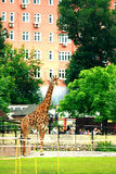 Moscow, RUSSIA - JUNE 21: Giraffe at the zoo in the open air on June 21, 2014 Royalty Free Stock Photography