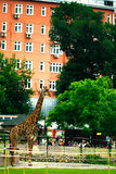 Moscow, RUSSIA - JUNE 21: Giraffe at the zoo in the open air on June 21, 2014 Stock Photography