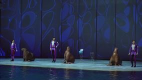 Show of walrus at the Center for Oceanography and Marine Biology Moskvarium stock footage video stock footage