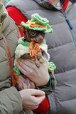 Chihuahua in hat and coat sitting in the hands of the mistress at the St. Patrick`s Day Parade in the park Sokolniki in Moscow royalty free stock images