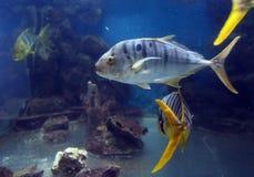 Gold quarry Gnathanodon speciosus in the aquarium. Royalty Free Stock Image