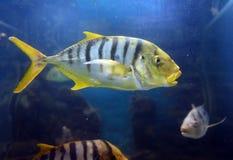 Gold quarry Gnathanodon speciosus in the aquarium. Stock Image