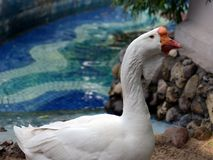 Goose of the Kholmogory breed Stock Photo