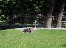 Ostrich in the Moscow zoo. Royalty Free Stock Images