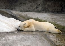 Polar bear in the Moscow Zoo. stock photos