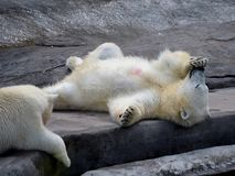Polar bears in the Moscow Zoo Royalty Free Stock Photography