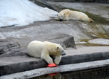 Polar bears in the Moscow Zoo royalty free stock photo