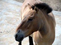Przewalski`s horse Equus przewalskii. Moscow, Russia - May 29, 2016: Przewalski`s horse Equus przewalskii Royalty Free Stock Photos