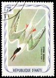 Sterna dougalli (Roseate tern), Birds serie, circa 1975