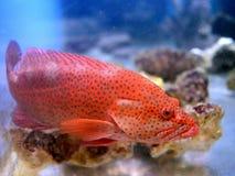 Red grouper in the aquarium. Stock Image