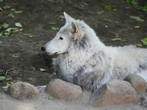 Tundra wolf in the Moscow zoo. royalty free stock photos