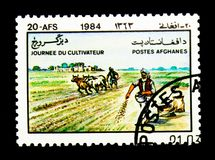 Cattle (Bos primigenius taurus), sowing seed, Farmers' Day serie. MOSCOW, RUSSIA - NOVEMBER 25, 2017: A stamp printed in Afghanistan shows Cattle (Bos Royalty Free Stock Image