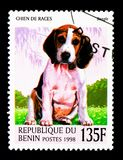 Beagle (Canis lupus familiaris), Dogs serie, circa 1998. MOSCOW, RUSSIA - NOVEMBER 26, 2017: A stamp printed in Benin shows Beagle (Canis lupus stock photo