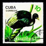 Pale-winged Trumpeter (Psophia leucoptera), Philatelic exhibitio. MOSCOW, RUSSIA - NOVEMBER 25, 2017: A stamp printed in Cuba shows Pale-winged Stock Image