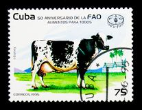 Siboney Cow (Bos primigenius taurus), serie, circa 1995. MOSCOW, RUSSIA - NOVEMBER 25, 2017: A stamp printed in Cuba shows Siboney Cow (Bos primigenius taurus) Royalty Free Stock Images