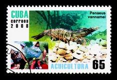 Whiteleg Shrimp (Panaeus vannamei), Aquaculture serie, circa 200. MOSCOW, RUSSIA - NOVEMBER 25, 2017: A stamp printed in Cuba shows Whiteleg Shrimp &# Royalty Free Stock Photo