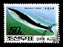 Fin Whale Balaenoptera physalus, Whales serie, circa 1992. MOSCOW, RUSSIA - NOVEMBER 24, 2017: A stamp printed in Democratic People`s republic of Korea shows Fin stock photography