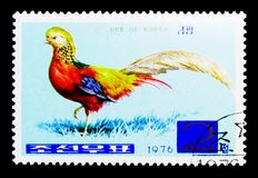Golden Pheasant (Chrysolophus pictus), serie, circa 1976. MOSCOW, RUSSIA - NOVEMBER 25, 2017: A stamp printed in Democratic People's republic of Stock Photo