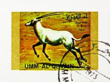 Arabian Oryx (Oryx leucoryx), Rare animals; small format serie, circa 1972. MOSCOW, RUSSIA - NOVEMBER 10, 2018: A stamp printed in Umm Al Quwain shows Arabian stock image