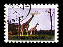 Giraffe (Giraffa camelopardalis), Animals; large format serie, circa 1972. MOSCOW, RUSSIA - NOVEMBER 10, 2018: A stamp printed in Umm Al Quwain shows Giraffe ( stock photo