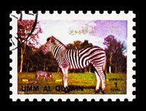 Zebra (Equus sp.), Animals; large format serie, circa 1972. MOSCOW, RUSSIA - NOVEMBER 10, 2018: A stamp printed in Umm Al Quwain shows Zebra (Equus sp.), Animals stock images